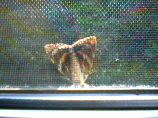 brown and orange moth view 1