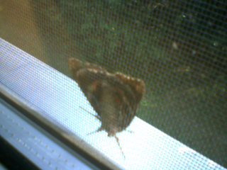 brown and orange moth view 2